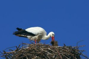 Stork making its nest